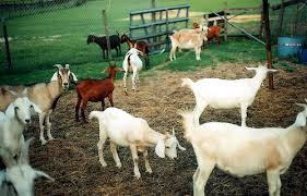 Full Blood Headed Pure Breed Dorpers And Boer Goat