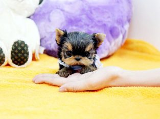 Pure Breed Miniature Yorkshire Terrier Puppies